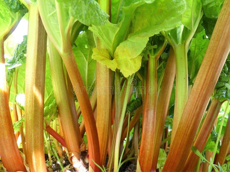 Troncos rojos del rhabarbarum del Rheum del ruibarbo que crece en la asignación vegetal fotografía de archivo libre de regalías