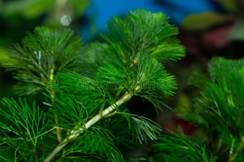Troncos verdes de la planta del caroliniana del Cabomba foto de archivo libre de regalías