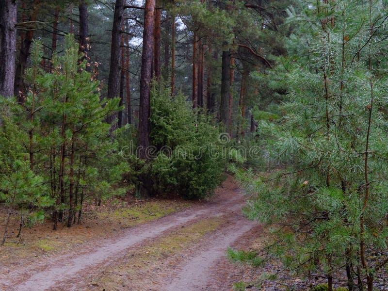 Troncos y arbustos densos oscuros del árbol forestal del pino foto de archivo libre de regalías
