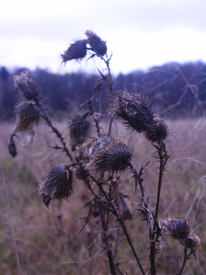 Troncos y brotes de flor secados del cardo en un campo fotografía de archivo