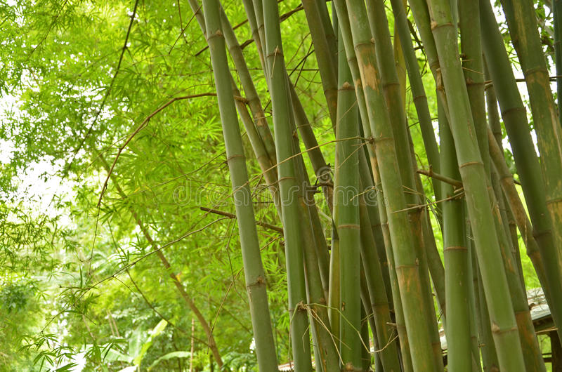 Troncos y hojas verdes del grupo de bambú fotografía de archivo