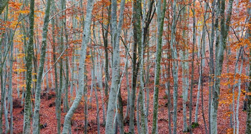 Troncs d'arbre de hêtre image libre de droits