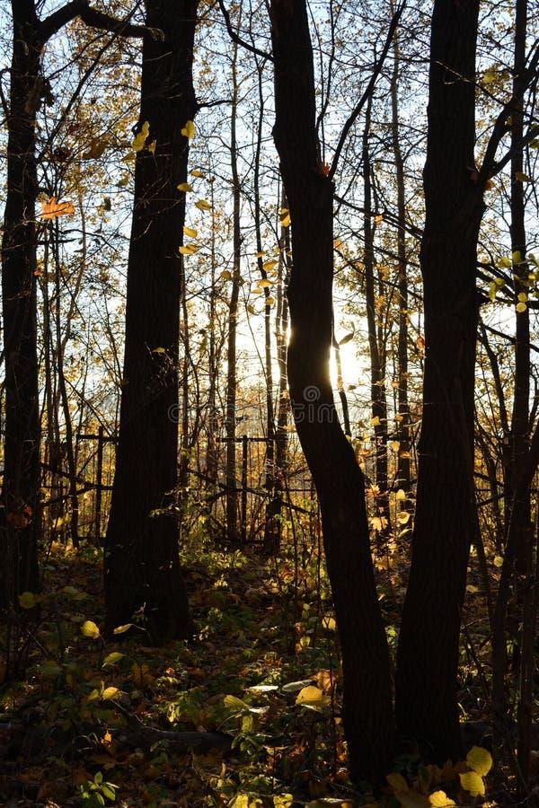 Troncs d'arbre foncés sur le coucher du soleil Contrastez la lumière dans la forêt d'automne photographie stock libre de droits