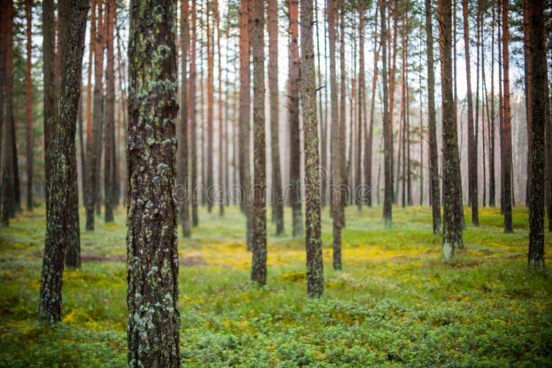 Troncs d'arbre forestier dans le matin photos stock