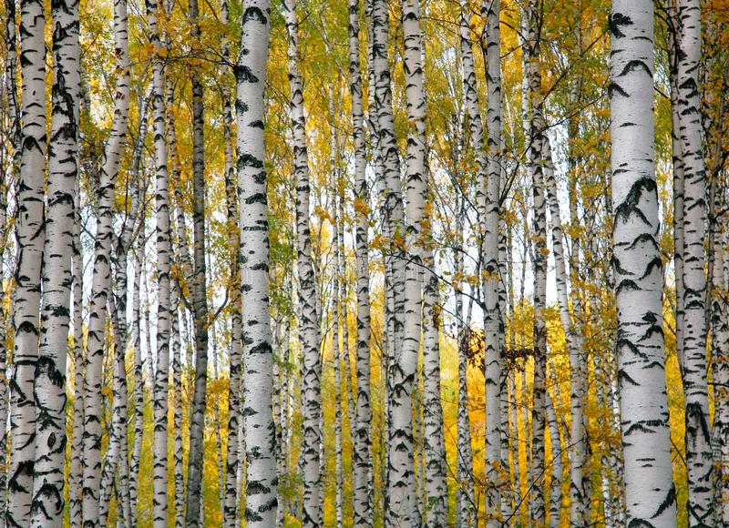 Troncs de bouleau d'automne image stock
