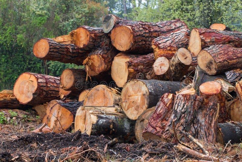 Troncs de Cutted des pins et des peupliers empilés dans une pile images libres de droits