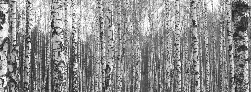 Troncs des arbres de bouleau, fond naturel noir et blanc photo libre de droits