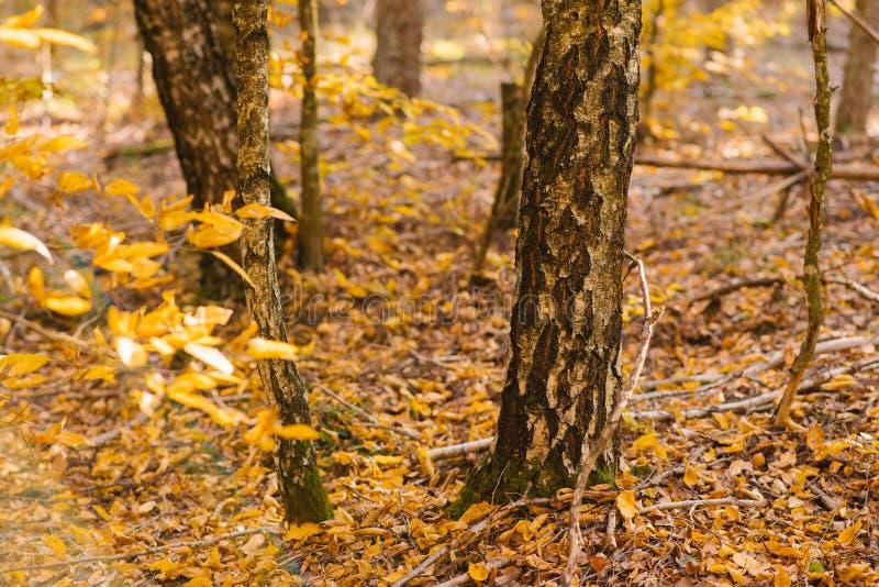 Troncs et branches d'arbre avec les feuilles jaunes pendant l'automne image libre de droits