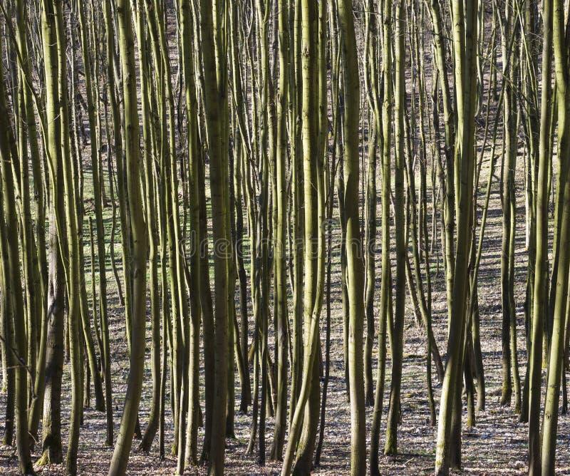 Troncs verts de jeunes arbres de hêtre avec des lumières et des ombres, fond naturel de modèle photos libres de droits
