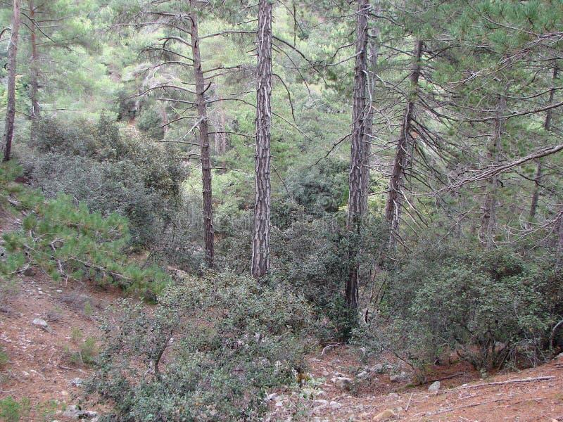 Troodos berg Cypern Skoglandskap och sk?nheten av bergfloder p? en h?jd av 1400 M ovanf?r havsniv? royaltyfria bilder