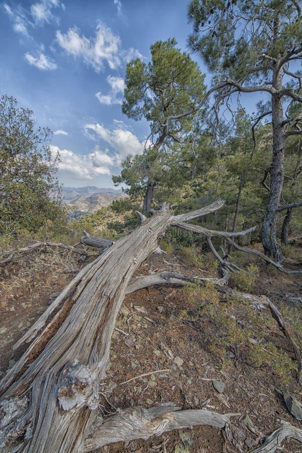 Troodos-Waldvertikale lizenzfreie stockbilder