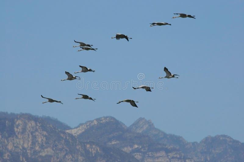 Download Troop of cranes  flying stock image. Image of flying - 13187985