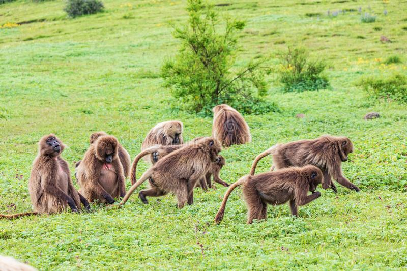 A troop of Gelada baboons. Ethiopia. North Gondar. Simien Mountains National Park. A troop of Gelada baboons royalty free stock photography