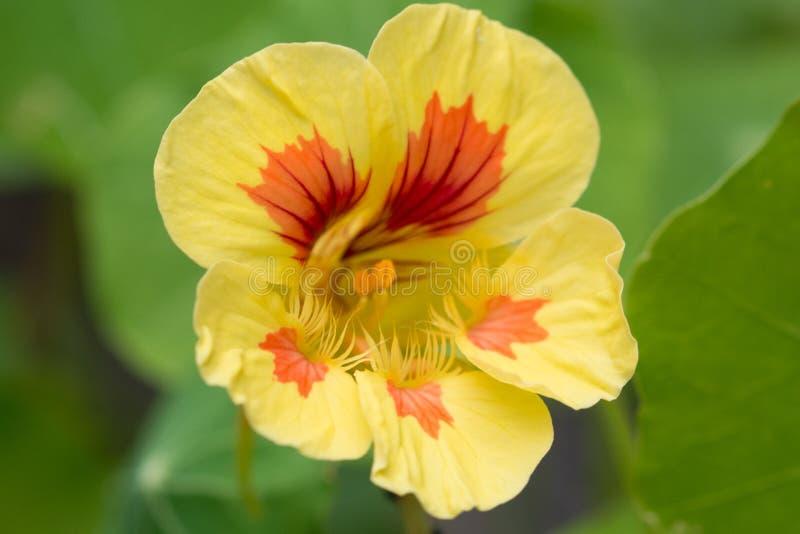 Tropaeolum в саде стоковая фотография rf