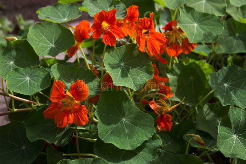 Tropaeolum majus, nasturzio - fiori arancio del giardino, fotografia stock