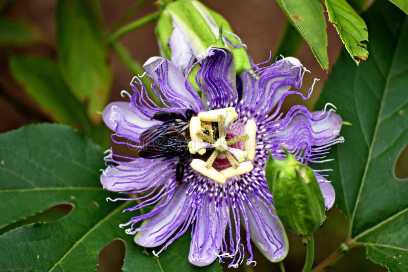 Tropeçar a abelha com uma flor roxa da paixão fotos de stock royalty free