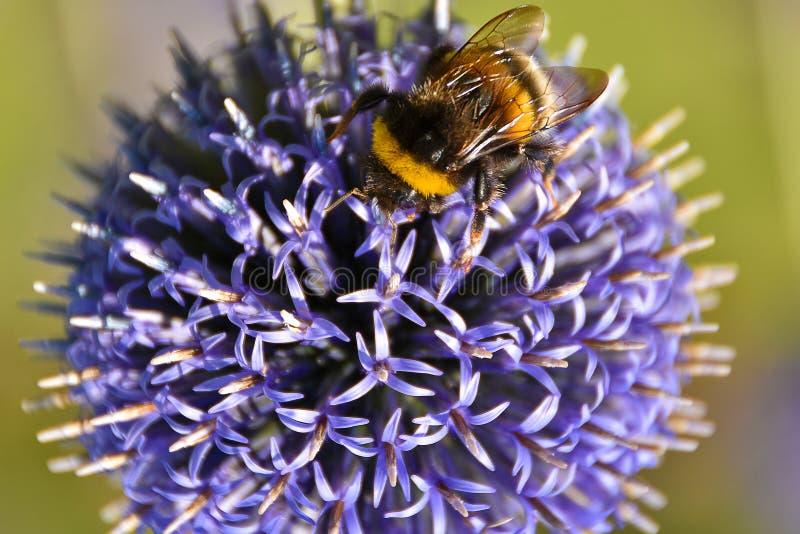 Tropeçar a abelha em um cardo de globo pequeno foto de stock