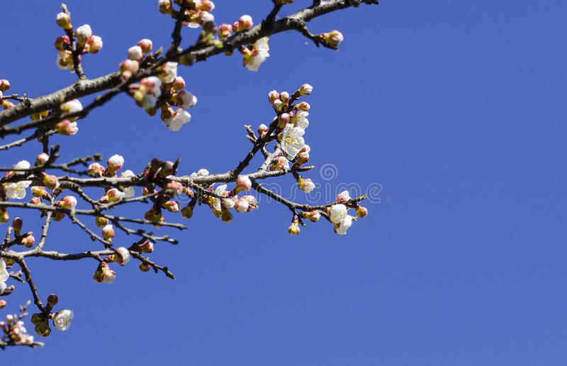 Tropeçar a abelha em um ramo de florescência do abricó imagem de stock royalty free