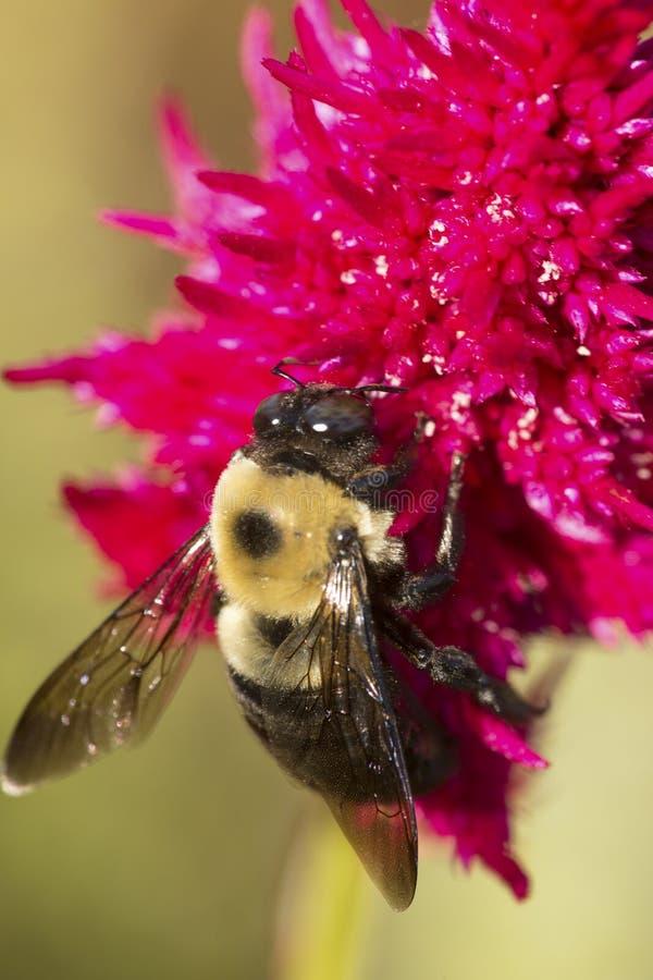 Tropeçar a abelha em uma flor vermelha do celosia em Elizabeth Park fotografia de stock royalty free