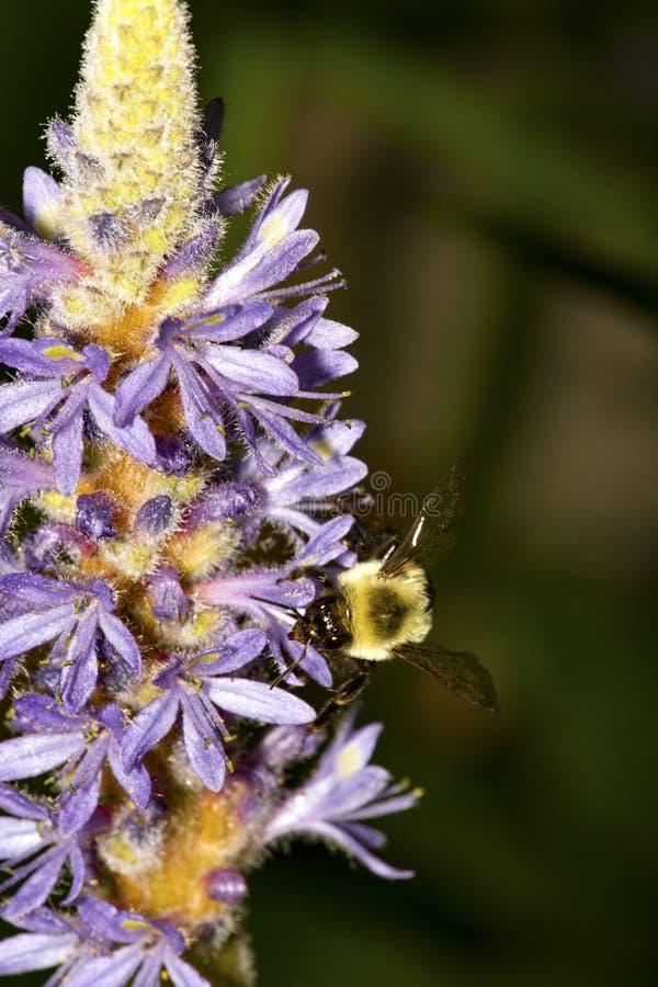 Tropeçar a abelha na flor da erva daninha de pickerel em Sunapee, New Hampshire foto de stock