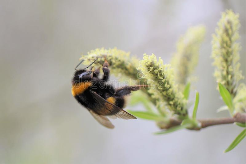 Tropeçar a abelha no amentilho imagem de stock