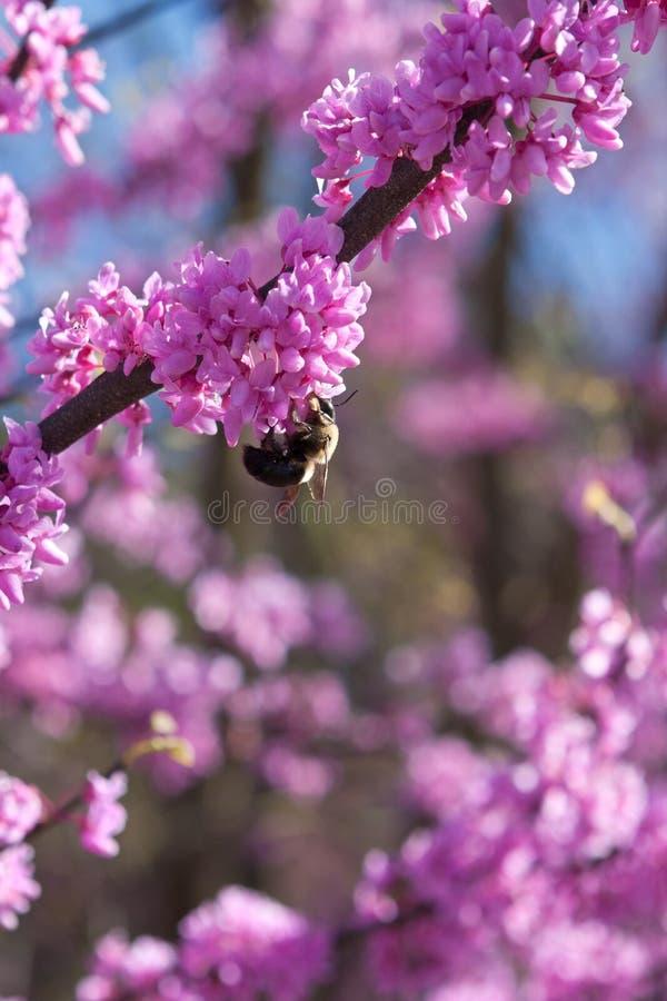 Tropeçar a abelha poliniza a flor cor-de-rosa na árvore oriental de Redbud foto de stock