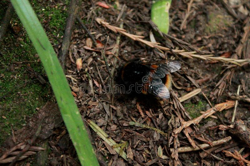 Tropeçar a abelha que forrageia nas madeiras fotografia de stock