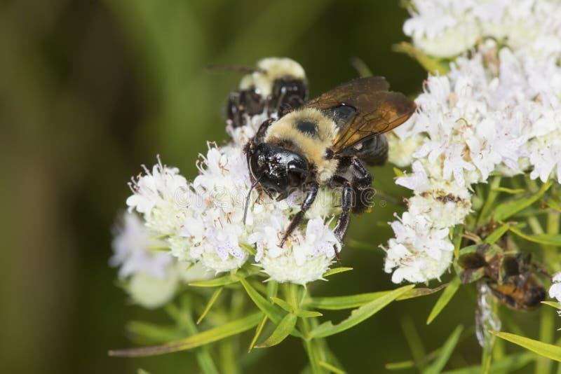 Tropeçar a abelha que forrageia para o néctar nas flores brancas da hortelã de montanha fotos de stock