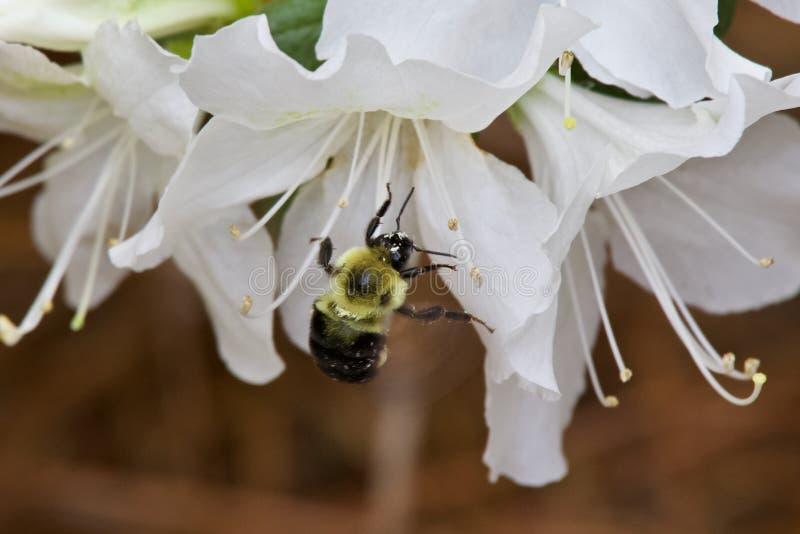 Tropeçar a abelha que forrageia para o pólen na flor da azálea fotografia de stock royalty free