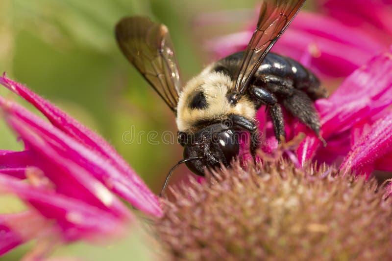 Tropeçar a abelha que visita uma flor vermelha da bergamota em Connecticut imagem de stock
