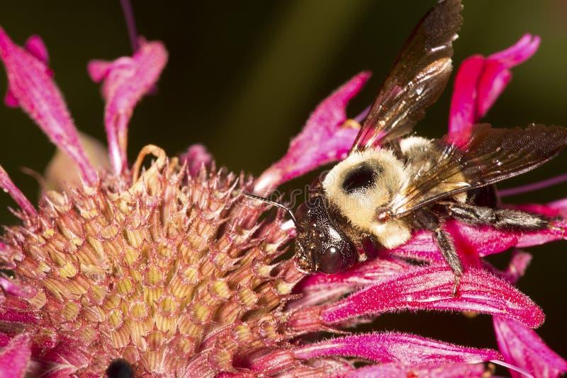 Tropeçar a abelha que visita uma flor vermelha da bergamota em Connecticut imagens de stock