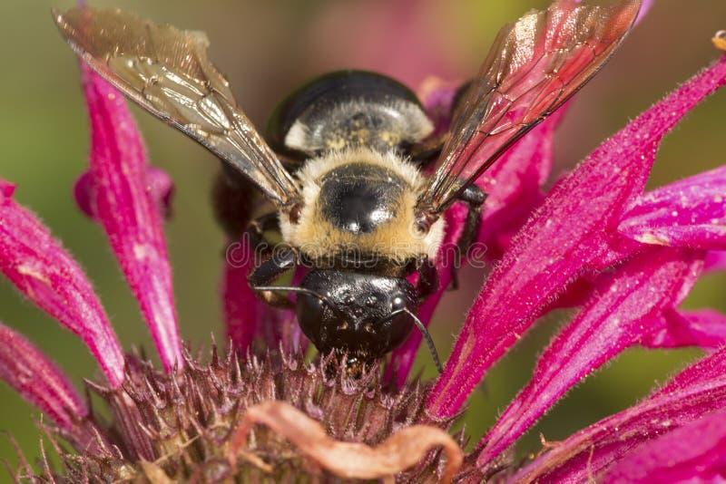 Tropeçar a abelha que visita uma flor vermelha da bergamota em Connecticut imagem de stock royalty free
