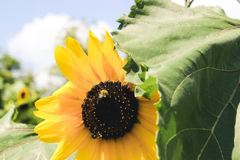Tropeçar abelhas e girassóis imagens de stock