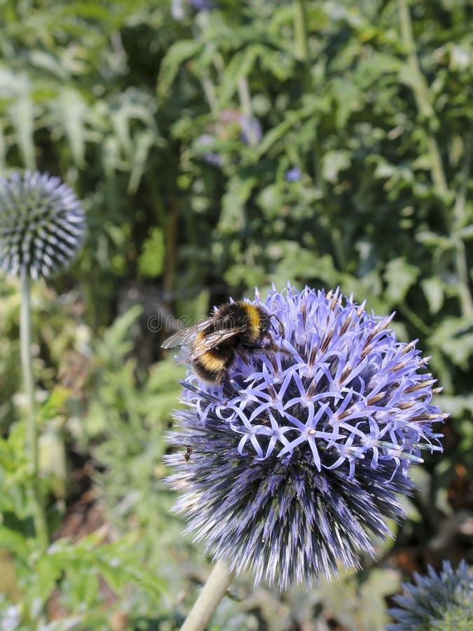 Trope?ar a abelha no Echinops foto de stock