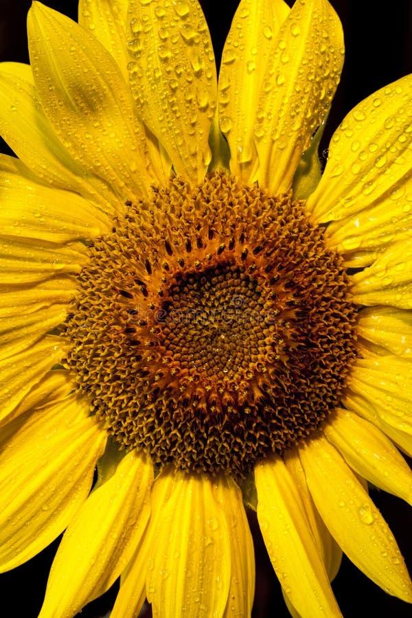 Tropfen auf einer Sonnenblume. stockfotos