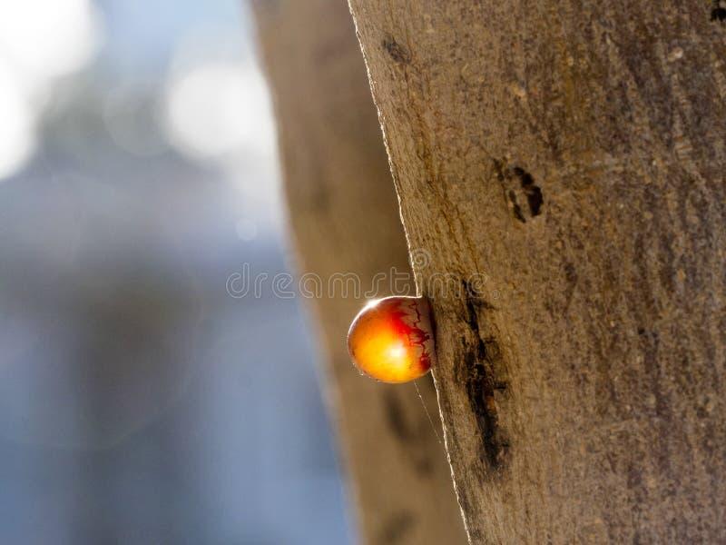 Tropfen des Harzes auf Baumstamm, Zypern stockfotos