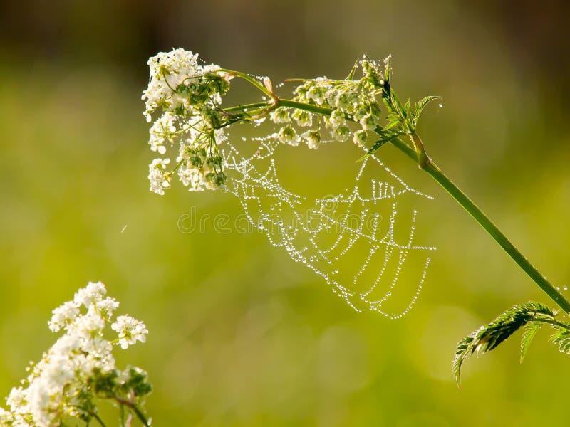 Tropfen des Taus auf einem Spinnennetz am frühen Morgen stockbilder