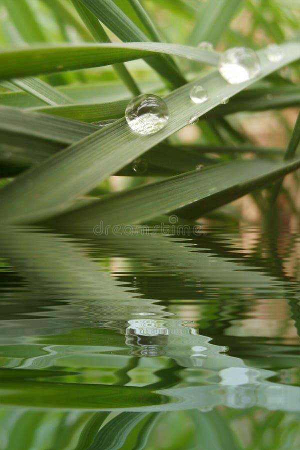Tropfen des Taus auf Gras mit Wasser Refections stockfotografie