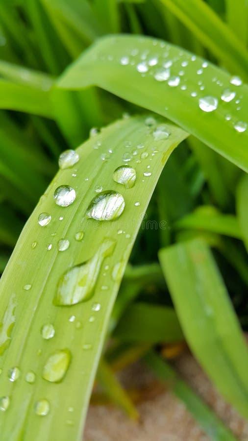 Tropfenwasser auf dem Blatt des langen Grüns stockfoto