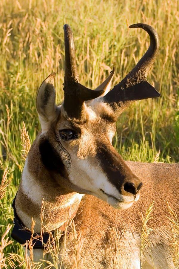 Trophy Antelope stock image