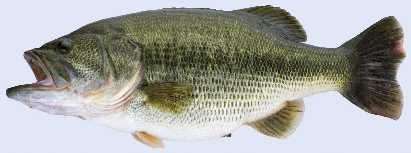 Trophy Largemouth Bass stock photography
