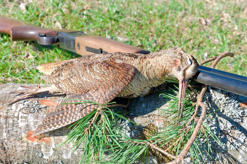 Trophy - woodcock closeup. Trophy Hunting - Woodcock closeup. horizontal photo royalty free stock photo