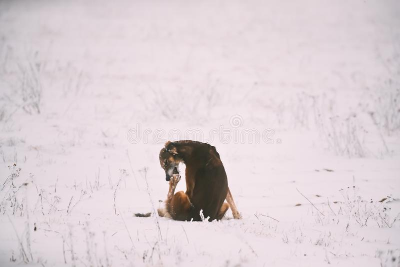 Tropić Sighthound Hortaya Borzaya psa Liże Jego łapę Przy zimą fotografia stock