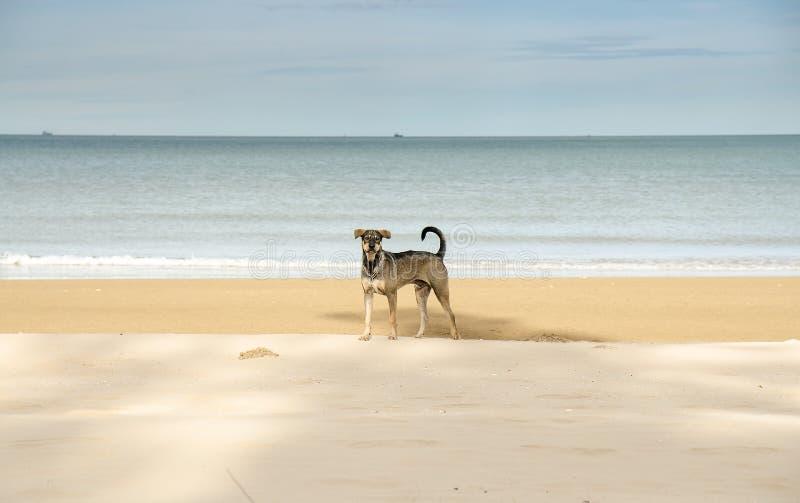 Tropi psa na plaży patrzeje kamera obraz royalty free