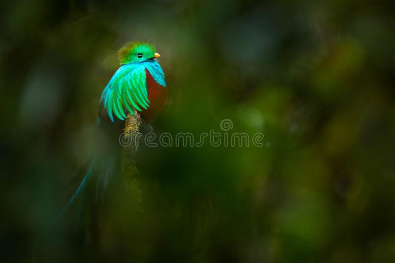 Tropic bird. Quetzal from Guatemala, Pharomachrus mocinno, from forest with blurred green forest in background. Magnificent sacred. Green and red bird. Detail stock images