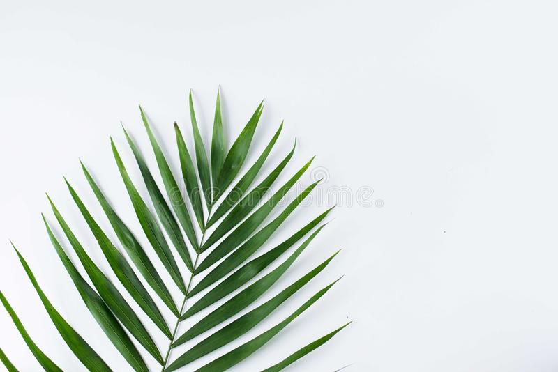 Tropic leaf isolated on white . summer background with copy space .green leaves stock photos