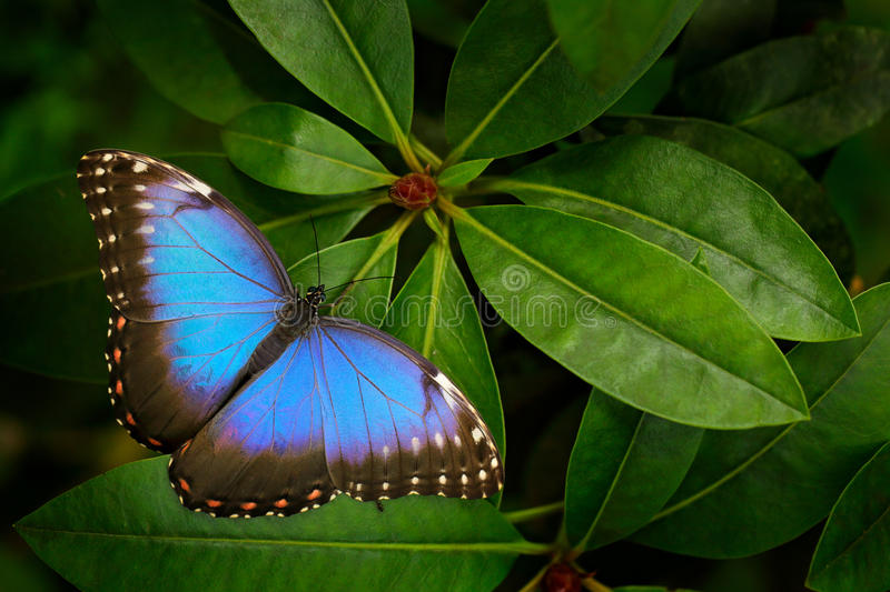 Tropic nature in Costa Rica. Blue butterfly, Morpho peleides, sitting on green leaves. Big butterfly in forest. Dark green vegetat royalty free stock photography