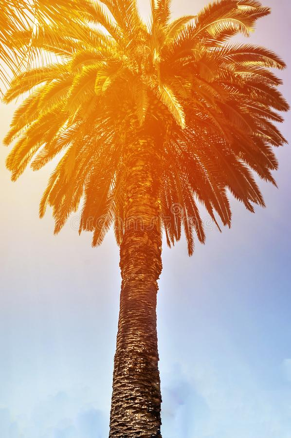 Tropic palm trees against sunset sky. Silhouette of tall palm trees. Tropic evening landscape royalty free stock image