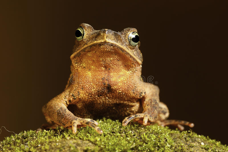 tropical amazon toad on moss stock image