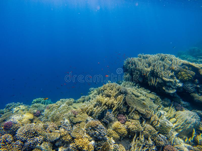 Tropical Anthias fish with net fire corals on Red Sea reef under stock images